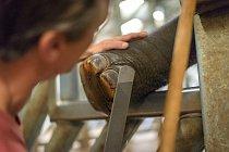 K úpravě chodidel slonů používají chovatelé v Zoo Praha speciální kopytní sadu.