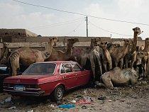 Na velbloudím trhu severozápadně od Káhiry hlídači bijí velbloudy holemi, aby je udrželi v klidu na místě. Tady se však velbloudům podařilo obklopit mercedes.