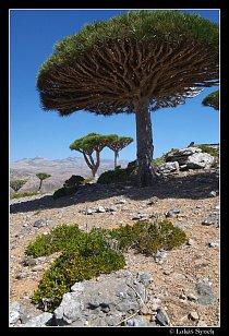 Strom dračí krve (Dracaena cinnabari) – symbol Sokotry.