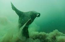 Mroži atlantští se potápějí zapotravou dohloubky maximálně 90 metrů vždy našest minut.