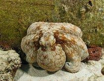 Chobotnice obecná (pobřežná), nebo kámen na dně Středozemního moře?
