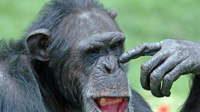 Šimpanzi umějí spolupracovat a mají smysl pro fair play, ale dokážou být i sobečtí jako lidé
