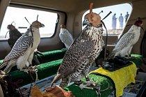Po cvičných letech v poušti jsou sokoli upoutáni k posedům a čeká je cesta zpátky do Dubaje. Ptáci mají tak bystrý zrak, že je dokážou vyplašit i drobné pohyby nebo změny světla. Čepičky, které používali už staří Arabové, je pomáhají udržet v klidu.