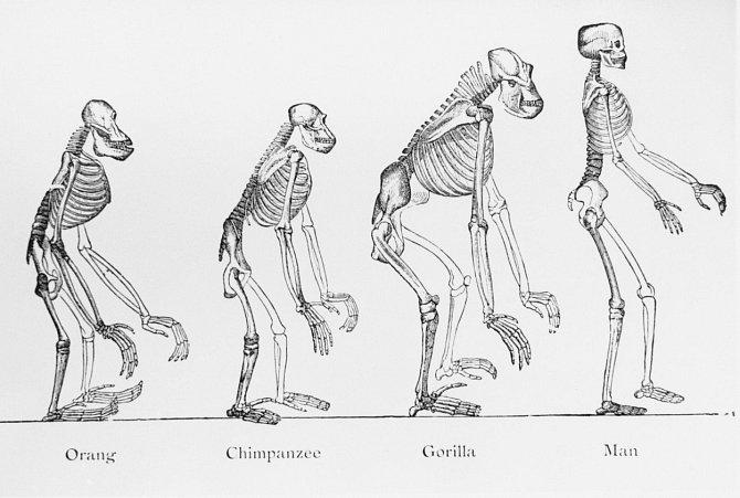 Orangutan, šimpanz, gorila a člověk: Rozdíl je nejen vpostavení těla, ale ivchování