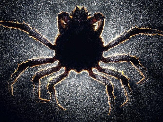 Parazitický kořenohlavec donutí svého hostitele, aby jej slepě poslouchal. Sameček kraba napadený se začne chovat jako samička.