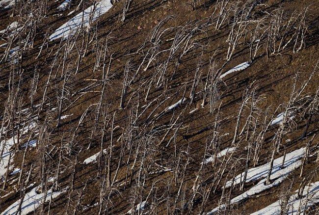 Mrtvé borovice na svazích Avalanche Peak.