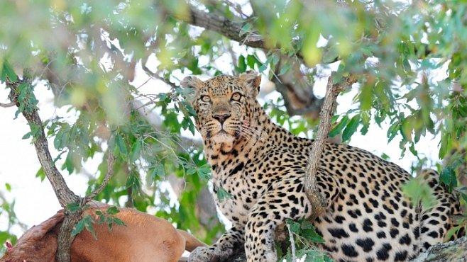 VIDEO: Neviditelný levhart skolil antilopu. Neměla šanci...