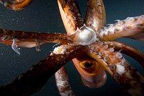 V Cortézově moři u pobřeží Mexika obrovské kalmary peruánské schopné požírat vlastní příbuzenstvo.