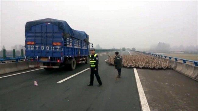 Farmáři v čínské provincii Hubei si chtěli zkrátit cestu na trh a ušetřit za náklady na dopravu. 1300 hus zablokovalo hlavní silnici a případ musela řešit policie.