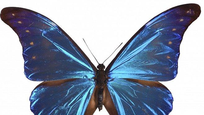 Nejkrásnější motýl světa ukrývá tajemství nočního vidění