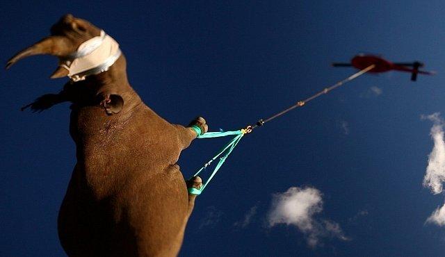 VIDEO: Jak se v Africe stěhovali nosorožci