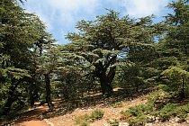 Libanonský cedr byl dříve na Blízkém východě hojně rozšířen.