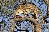 Jako jedna z mála velkých kočkovitých šelem se zdržuje často v korunách stromů, kam si vynáší kořist a ukrývá si ji zde před dalšími predátory, např. lvy a hyenami. Na snímku levhart v Namibii.