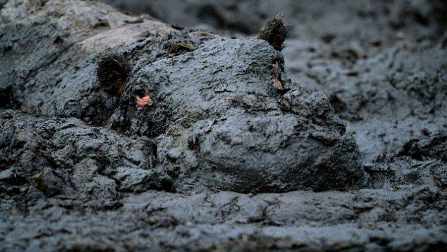 Hroch je vrah. A taky kanibal. A hlavně nejnebezpečnější zvíře Afriky