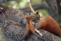 Mládě levharta skvrnitého s kořistí (NP Masai Mara v Keni). V Africe si svou kořist často ukrývají na stromech a po několik dní se k ní vrací. V takovém úkrytu je v bezpečí před lvy, hyenami, šakaly a
