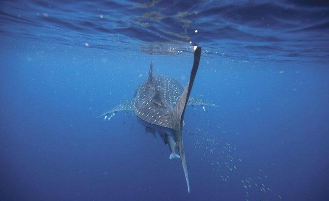 Tváří vtvář největšímu žralokovi světa. Potápějte se sním vAustrálii