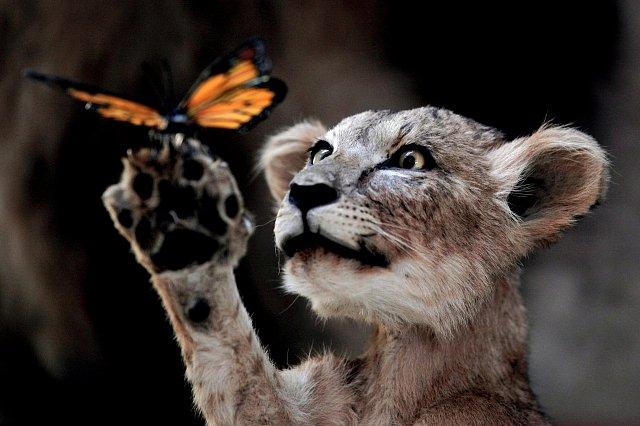 Lev a motýl
