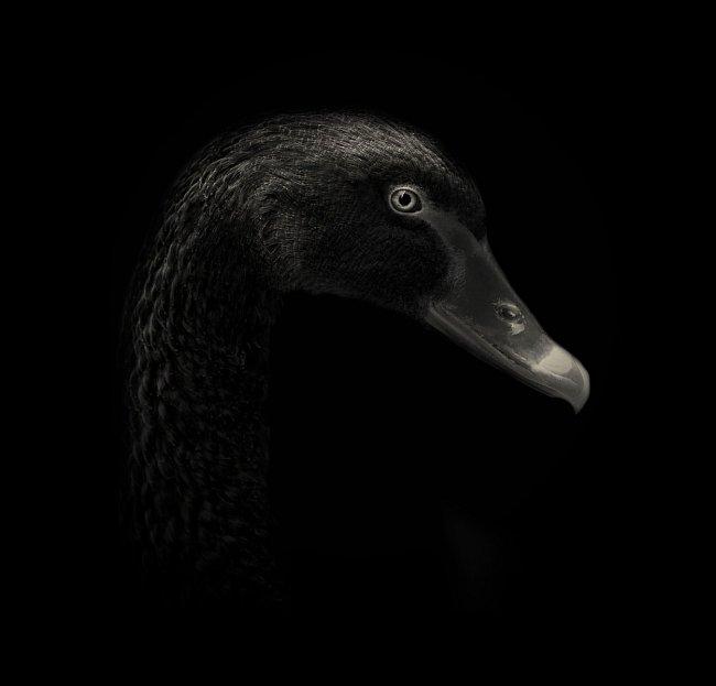 Labuť černá se v minulosti kromě Austrálie početně vyskytovala i na Novém Zélandu, kde byla však již vyhubena.