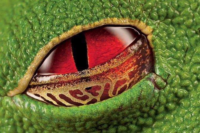 Listovnice červenooká mžourá přes zlatě proužkovaná poloprůhledná víčka. Oči tohoto jedovatého obojživelníka dlouhého 7,5 centimetru jsou příkladem odstrašujícího zbarvení. Pomocí této obranné strategie zahánějí někteří živočichové predátory.