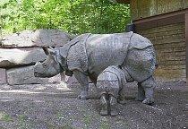 Nosorožec je nejbližším příbuzným nosorožce jávského.