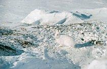 Zajíc polární v severní části Kanady.