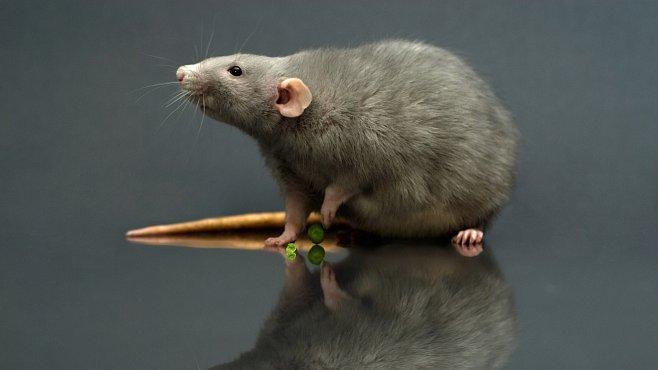 Potkani jsou ještě děsivější, než jste si mysleli