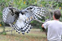 13 April 2008 - Pananma City, Panama - A man trains a Harpy eagle, Panamanian national bird, during an event to celebrate the seventh national bird's day at a conservation centre in the Summit Park ne