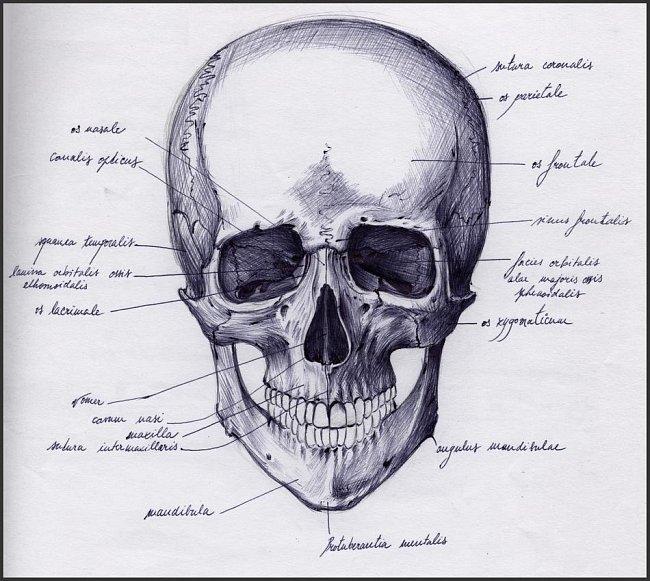 Lebka je nejkomplexnější a nejvíce fascinující částí lidské kostry. Skládá se z 22 kostí, které, jen co zvápenatí, poskytují pevnou ochranu mozku a smyslovým orgánům.
