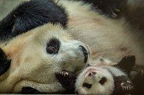 Dalším projektem, kterým se fotografka dlouhodobě zabývá, je vypouštění pand v Číně do volné přírody.