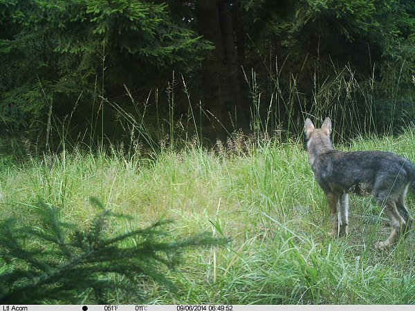 Záběry zfotopastí dokumentují, že krajina se ozdravuje a vlk se vrací.