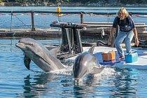 Hlavní trenér Jeff Foster dává Tomovi aMishovi povel krychlému pohybu vpřed. Delfíni žijící vzajetí mají špatnou fyzickou kondici. Místo lovení apohybu pod vodou tráví většinu času nahladině nebo vjejí blízkosti.