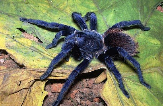 TOP 10 nově objevených organismů: Modrá tarantule nebo chodící kaktus