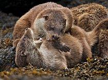 Mláďata spolu při hře zápasí, zatímco se jejich matka suší v zarostlém úkrytu na Shetlandách.