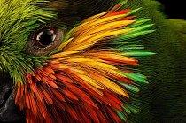 Pestrobarevné peří rámuje oko loríčka rudobradého, který se živí fíky i jiným ovocem, nektarem z květů a zřejmě také hmyzem. Nápadný lesní papoušek se cítí dobře i v blízkosti lidských sídel v Indonésii a na Papui-Nové Guineji.