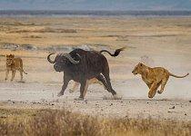 ...na první pohled se to nezdá, ale buvol dokáže běžet rychlostí až 55 km/h.