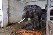 Úterý 6. srpna je posledním dnem, který mladý sloní samec Gluay Hom stráví ve svém stání na krokodýlí farmě a zoo ve městě Samut Prakan. Dostal nějaké ovoce a zakrátko ho převezou do nového domova ve Sloním přírodním parku v Čiang Mai.