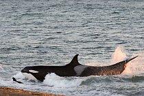 Kosatka je největším příslušníkem čeledi delfínovitých. Kosatka na snímku se vrhá na pláž vargentinském Punta Norte súmyslem zmocnit se lachtaního mláděte. Toto riskantní chování – kosatky občas uvíznou na mělčině – není obecně rozšířené a matky je před