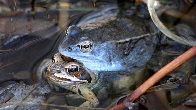 Modré žáby jsou i v Česku. Ale jen někdy a někde. Poradíme vám, kde je uvidíte