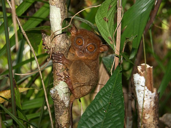 Tenhle maličký primát je na Filipínách zvláště chráněným druhem, přesto se jejich počet stále snižuje...