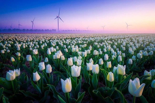 """Existuje několik verzí, jak se tulipán doputoval až do Evropy. Nizozemci si ale tulipány nesmírně oblíbili a v letech 1634 až 1637 ovládla Nizozemsko dokonce """"tulipánománie""""."""
