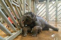 Sloni se na konci těší na odměnu v podobě extrudovaných kuliček s ovocnou příchutí.
