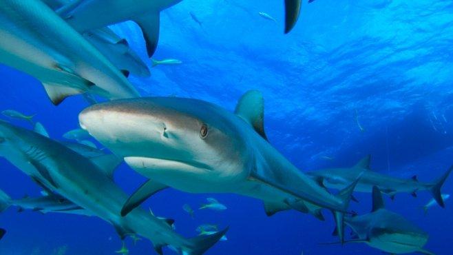 VIDEO: Uprostřed hejna 100 nebezpečných žraloků