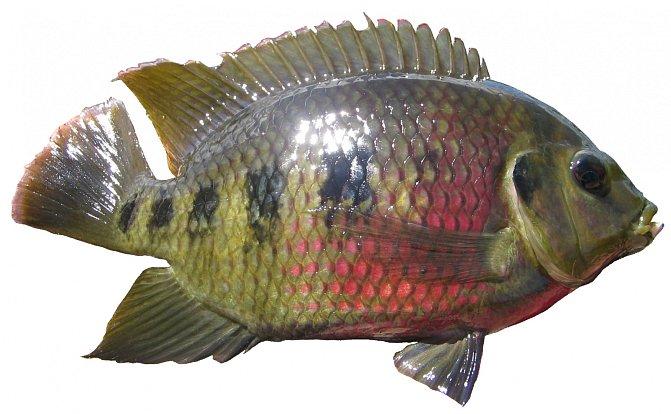 Ryby rodu tilapia