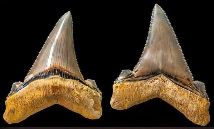 Zuby obřího vyhynulého žraloka