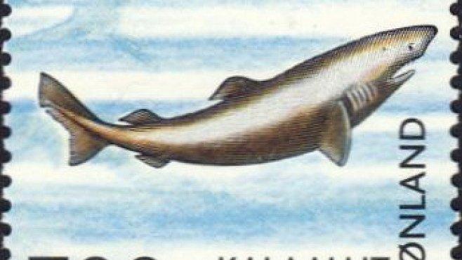 Líný žralok je ještě línější, než si biologové mysleli. Přesto umí ulovit i třikrát rychlejší kořist