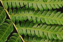 Kapradina Cyanthea milnei na Novém Zélandu (Raoul Island)