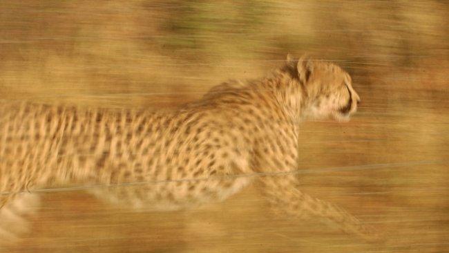Proč jsou gepardi nejrychlejší suchozemská zvířata na světě? Už to (částečně) víme