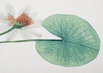 Leknín Ústa připomínající průduchy na listech leknínu trčí podobně jako šnorchly nahoru, kde nacházejí potřebný vzduch. FOTO: CARSTEN PETER. SOUKROMÁ SBÍRKA PETERA HEILMANNA.