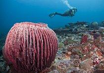 Mořský živočich Xestospongia muta - připomíná barel a patří k největším svého druhu. Do hloubky měří 10 metrů a nad zemí má 60 až 180 centimetrů.