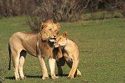 Odpočívající lvi si mezi sebou vzájemně projevují náklonnost, hladí se, čistí si srst a drbou se. Když ale dojde na jídlo, je tu každý sám za sebe.